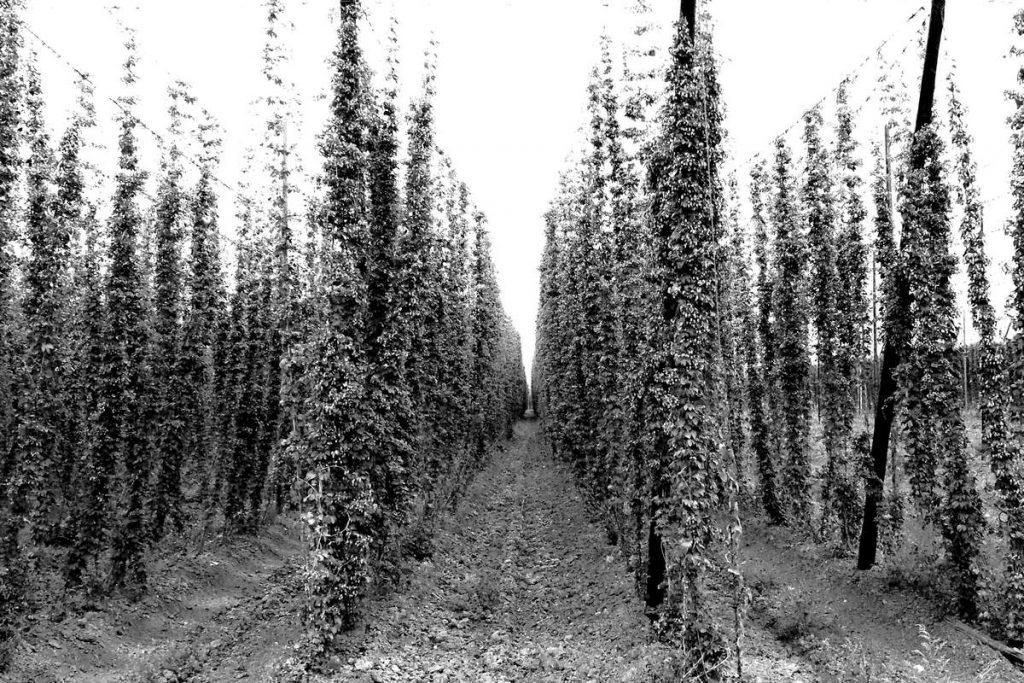 champ de houblon en Belgique