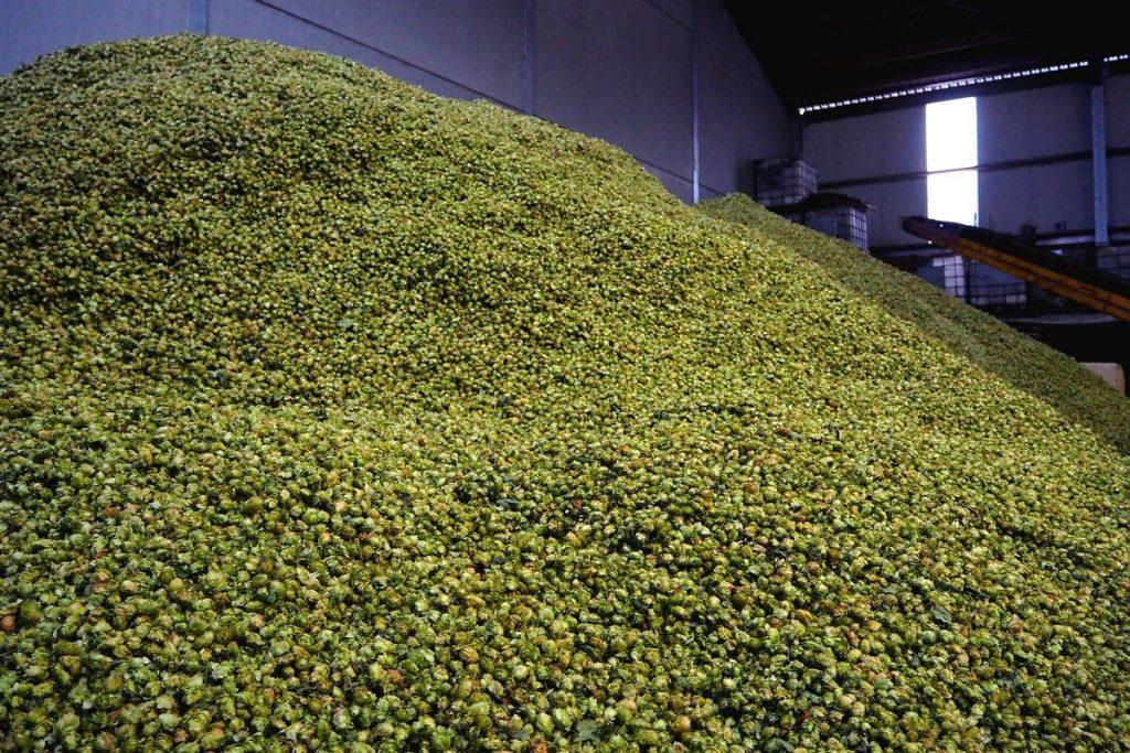 Houblon, ingrédient de la bière