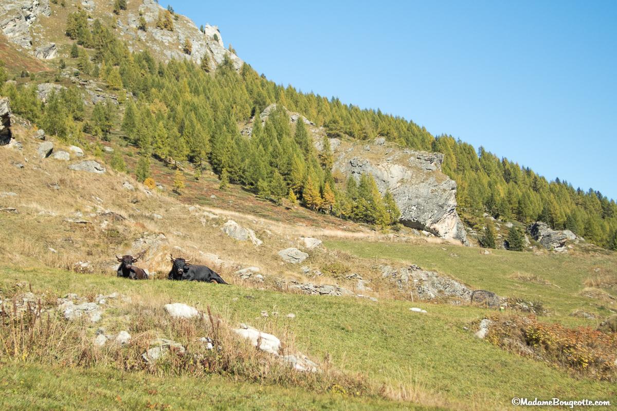 Vache d'Hérens - Suisse