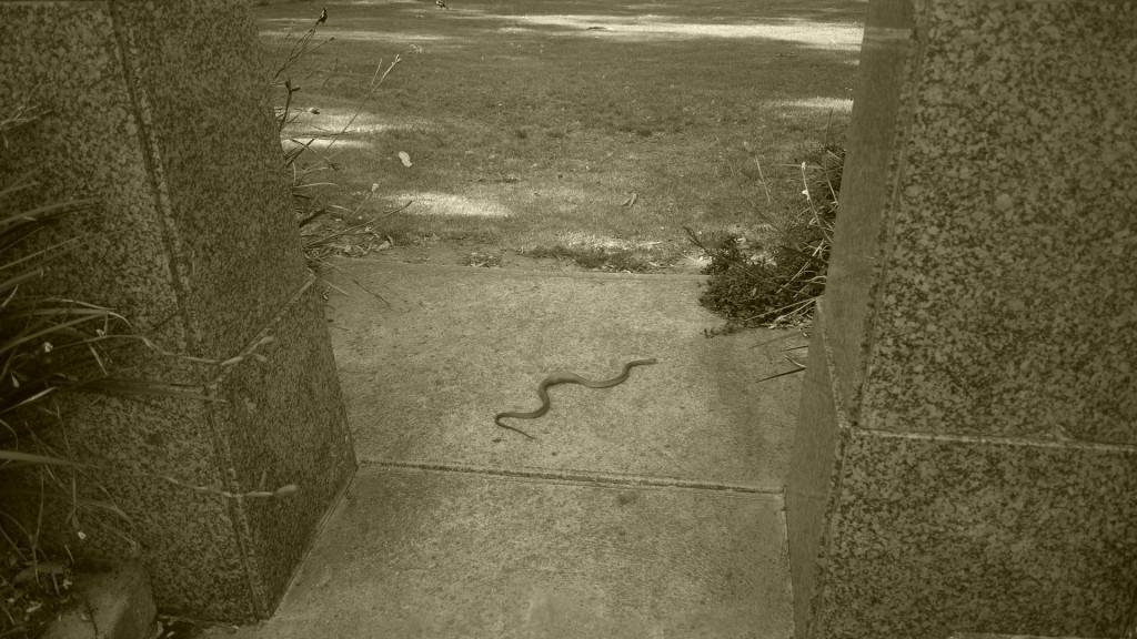 Serpent en pleine ville - Australie