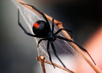 Redback Spider - Araignée, la veuve noire