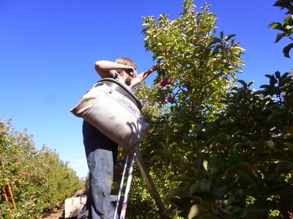 Fruit Picking en Australie