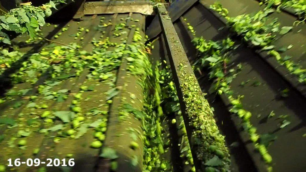 houblon à Poperinge